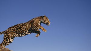 How Fast Can a Jaguar Run?