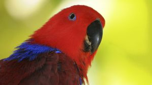 What Is the Female Eclectus Parrot?
