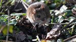What Do Field Mice Eat?