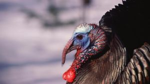What Is the Flap of Skin Under a Turkey's Chin Called?