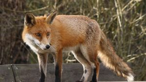 What Are a Fox's Natural Predators?