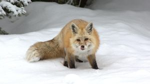 Do Foxes Hibernate in the Winter?