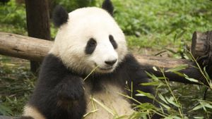 What Do Giant Pandas Look Like?