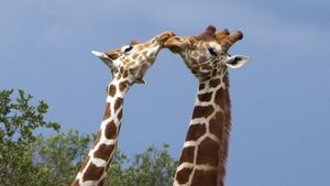 How Do Giraffes Communicate?