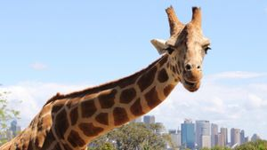 Are Giraffes an Endangered Species?