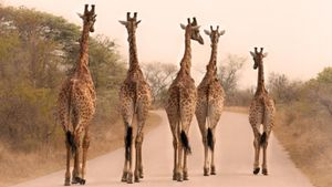 Why are giraffes so tall?