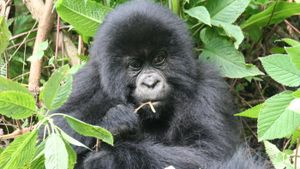 How Do Gorillas Adapt to Their Environment?