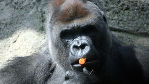 Are Gorillas Omnivores or Herbivores?