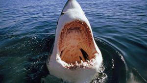 Why Do Great White Shark Attacks Happen?