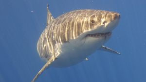 What Are the Great White Shark Behavioral Adaptations?