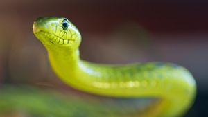 What Is a Green Mamba Snake?