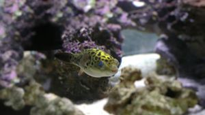What Is a Green Puffer Fish?