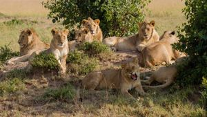 What is a group of lions called?