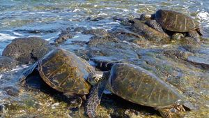What Is a Group of Sea Turtles Called?