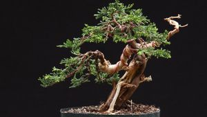 How do you grow a juniper bonsai tree?