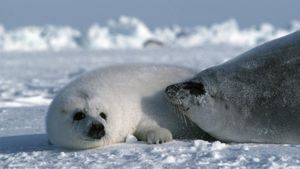 Are Harp Seals Endangered?