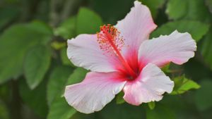 Are Hibiscus Plants Toxic to Dogs?