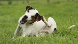 What Are Home Remedies for a Dog's Dry Itchy Skin?