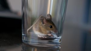What Are Some Home Remedies to Kill Mice?