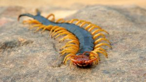 How Do Centipedes Move?