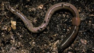 How Do Earthworms Digest Food?