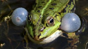 How do frogs croak?