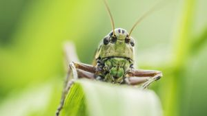 How Do Grasshoppers Adapt to Their Environment?