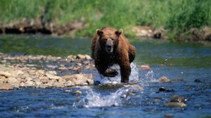 How Fast Can a Bear Run?