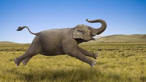 How fast can an elephant run?