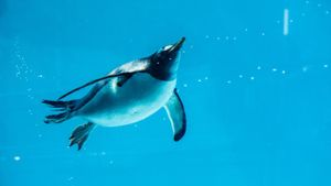 How fast do penguins swim?