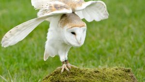 How long do barn owls live?