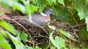 How Long Do Pigeons Nest For?