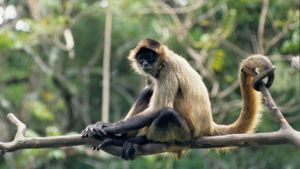 How Long Do Spider Monkeys Live?