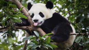 How Much Do Giant Pandas Weigh?