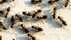 How Do I Get Rid of Big Black Ants?