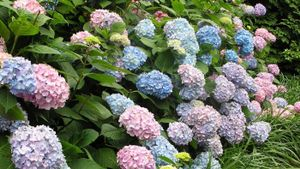 Why Does a Hydrangea Wilt?