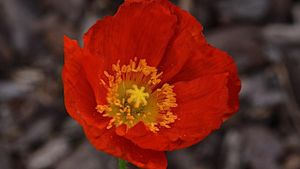 What Is an Iceland Poppy?