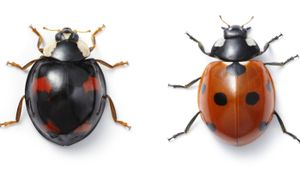 Which Insects Look Like Ladybugs?