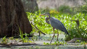 What Are Some Interesting Facts About the Great Blue Heron?