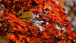 What Are Some Interesting Facts About the Red Maple Tree?
