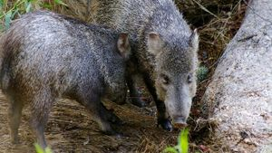 What Does a Javelina Pig Look Like?