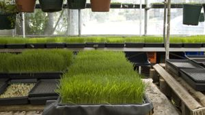How Do You Juice Wheatgrass?
