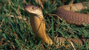 Where Does the King Cobra Live?