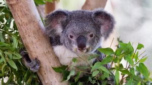 Do Koalas Eat Bamboo?