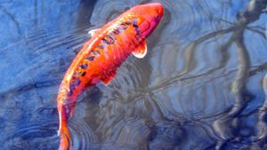 What does a koi fish represent?