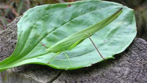 What Do Leaf Insects Eat?