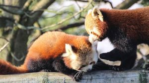 Is it legal to own a red panda as a pet?