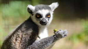 What Do Lemurs Eat?