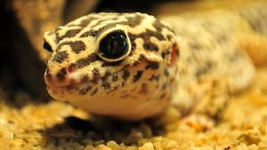 What Are Some Leopard Gecko Facts?