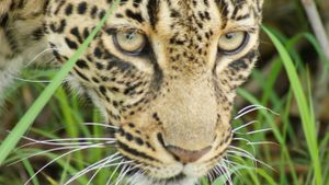 Where Do Leopards Live in Africa?